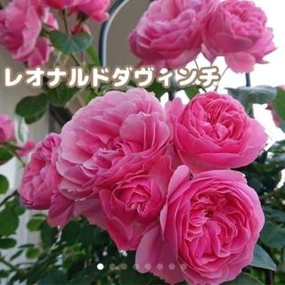 レオナルドダヴィンチ★つる薔薇★薔薇★返り咲き咲き★★強健★★薔薇★フロリバンダ(その他)