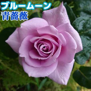ブルームーン★青薔薇★紫★青★強健★四季咲き★薔薇苗★バラ★挿し木苗★薔薇(その他)