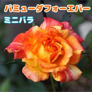 ミニバラ バミューダ ローズ オレンジ レッド バラ(その他)