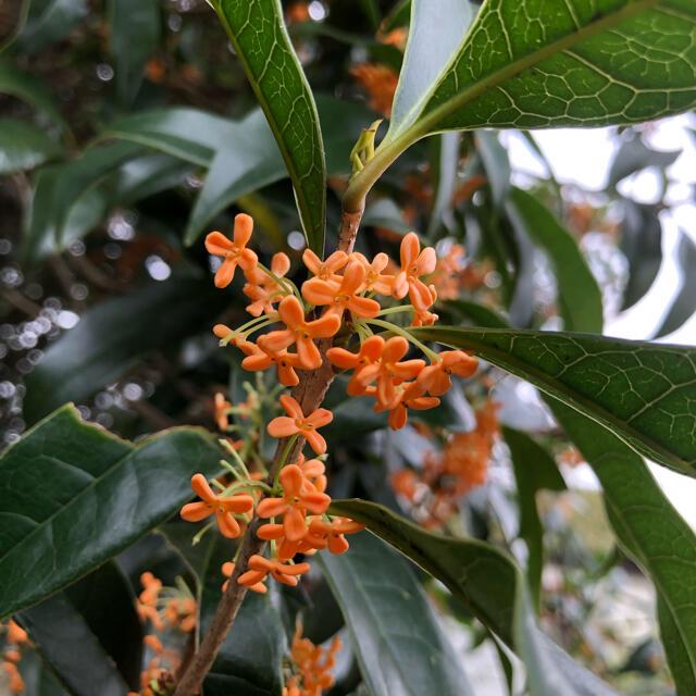 金木犀のドライフラワー(花材) ハンドメイドのフラワー/ガーデン(ドライフラワー)の商品写真