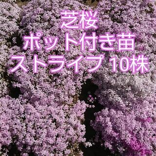 芝桜 ポット付き苗 ストライプ 10株(その他)