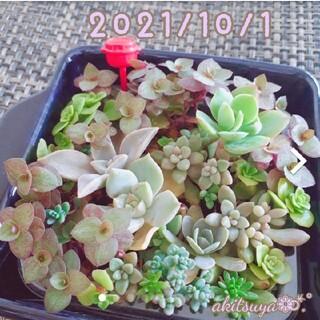 多肉植物 寄せ植え 容器ごと発送  根付き パープルヘイズ  セダムミックス(その他)