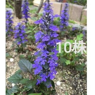 アジュガ 苗 10株 紫 濃紫 ②(その他)