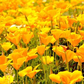 【鮮やかな黄色!】カリフォルニアポピー☆花菱草 種 350粒以上!