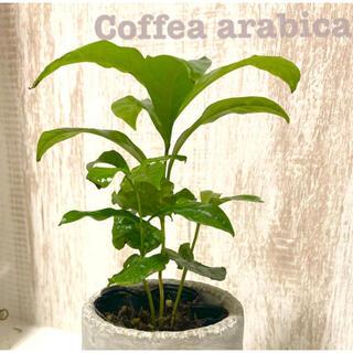 観葉植物 コーヒーの苗 コーヒーの木