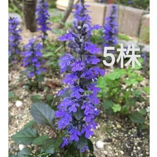 アジュガ 苗 5株 紫 濃紫 ② (その他)