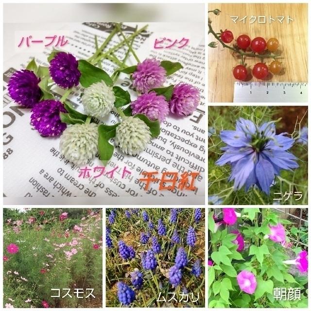 種 いろいろ マイクロトマト・ローゼル・千日紅・ニゲラ・ムスカリ・オダマキなど ハンドメイドのフラワー/ガーデン(その他)の商品写真