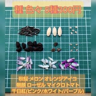 種 いろいろ マイクロトマト・ローゼル・千日紅・ニゲラ・ムスカリ・オダマキなど(その他)