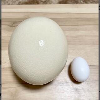 世界最大の卵  ダチョウの卵