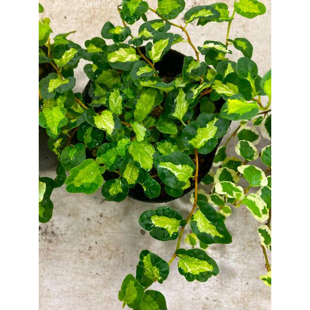 観葉植物 プミラ 月ち夜の光 苗 ハンドメイドのフラワー/ガーデン(プランター)の商品写真