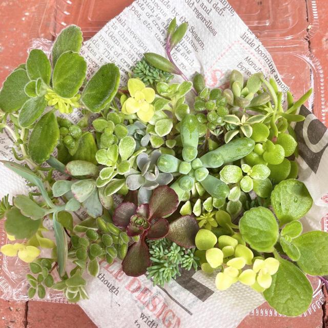 おまかせ 多肉植物 セダム カット苗 ハンドメイドのフラワー/ガーデン(その他)の商品写真