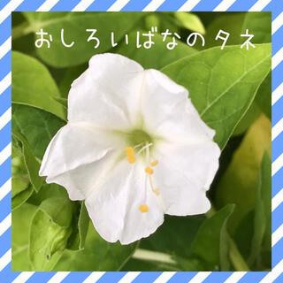 オシロイバナ(白色)の種。(その他)