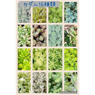 多肉植物 セダム 16種類 寄せ植えにも♡♡(その他)