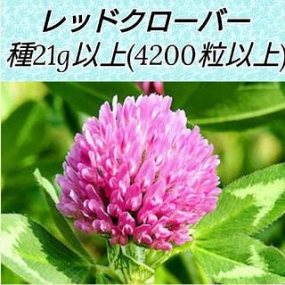 レッドクローバー種21g(4200粒)以上(その他)