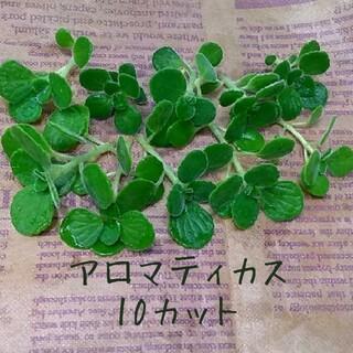多肉植物 アロマティカス 10カット (プランター)