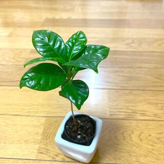 コーヒーの木アラビカ種 実生苗4cmポット1株 (葉焼け有り)(その他)