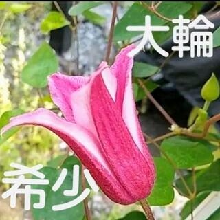 大輪クレマチス 希少ハッピーダイアナ 種子たっぷり50粒(その他)