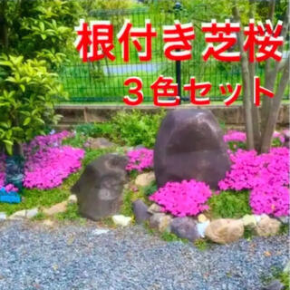 ☆来春増えて咲く‼️芝桜☆3色セット❣️根付き苗☆初心者向け☆(プランター)
