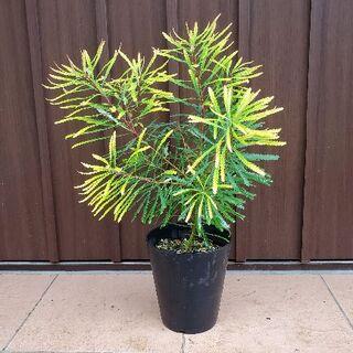 ヘアピンバンクシア 鉢植えb ワイルドフラワーネイティブフラワー鉢植え(プランター)
