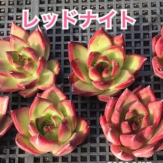多肉植物 レッドナイト(その他)