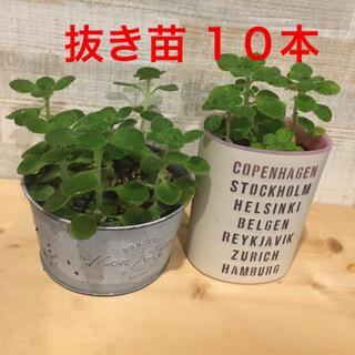 多肉植物 アロマティカス 抜き苗 10本(その他)
