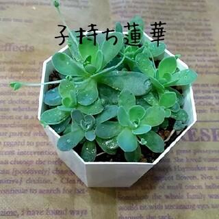 多肉植物【子持ち蓮華】抜き苗(プランター)