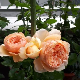 バラ 美しいバラ(その他)