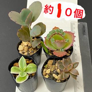 4cmポット約10個、胡蝶の舞子宝草、ブロンズ姫、ベビーサンローズ、おまけセダム(その他)