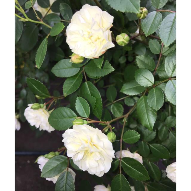 車 ミニバラ グリーンアイス苗 1鉢3苗 抜き苗 丈夫 虫強 四季咲  ハンドメイドのフラワー/ガーデン(その他)の商品写真