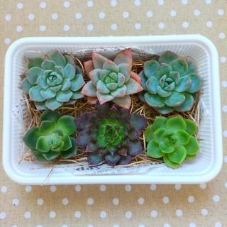 多肉植物 韓国苗 エケベリア カット苗詰め合わせセット ♯3(その他)