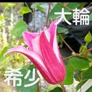 大輪クレマチス 希少ハッピーダイアナ 種子たっぷり50粒(プランター)
