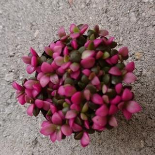 桜吹雪  多肉植物