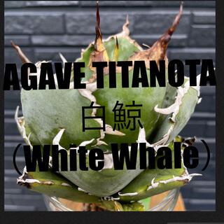 チタノタ 白鯨 Titanota White Whale 台湾ベアルート株(その他)