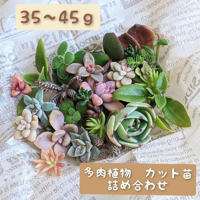 多肉植物 挿し穂セット ハンドメイドのフラワー/ガーデン(プランター)の商品写真