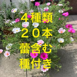 大輪の松葉牡丹 大きなカット苗20本 希望の方には種付(プランター)