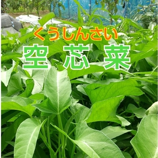 新鮮野菜【空芯菜】農薬不使用500gコンパクトBOX