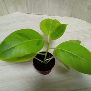 フィスカス イエロージェム 10cmくらい 観葉植物 苗 鉢植え(その他)