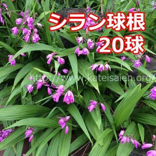■シラン 球根 20球セット 紫蘭 紫色の花♪(その他)