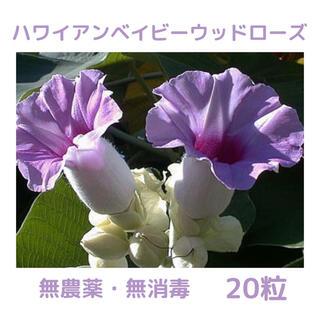 【無農薬・無消毒】ハワイアンベイビーウッドローズ(オオバアサガオ)の種 20粒(プランター)