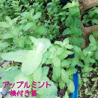 アップルミント 根付 5苗(野菜)