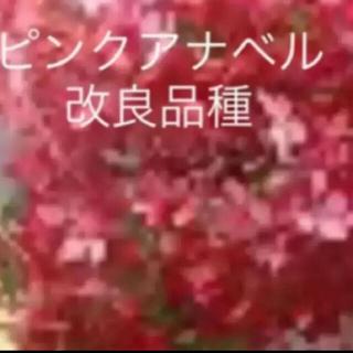 限定ちび★ピンクアナベル改良品種★(ᵔᴥᵔ)ピンクのアナベル2❤︎ドライフラワー(ドライフラワー)