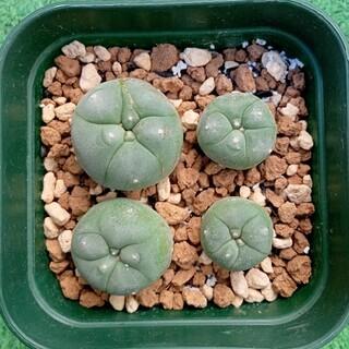 銀冠玉 4苗セット ロホホラ サボテン 多肉植物(その他)
