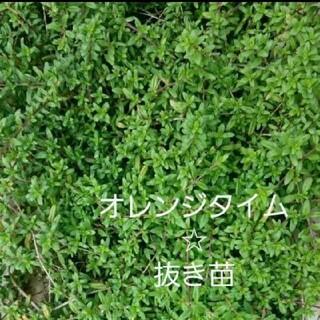 オレンジタイム☆抜き苗(プランター)