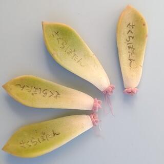 多肉植物◎桜牡丹 発芽済み葉挿し4枚(その他)