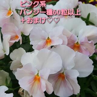 ピンク系 ビオラ 種(その他)