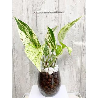 ポトス マーブルクィーン 観葉植物 ハイドロカルチャー(ドライフラワー)