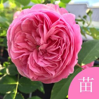 ◆発育旺盛な美形つるバラ 挿し木苗(発根済)(その他)