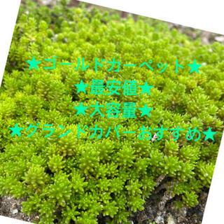 ★⭐︎★セダム多肉植物★⭐︎★(その他)