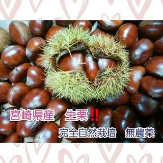 今年ラスト!宮崎県産 生栗 1.5㎏ 完全自然栽培 無農薬(フルーツ)