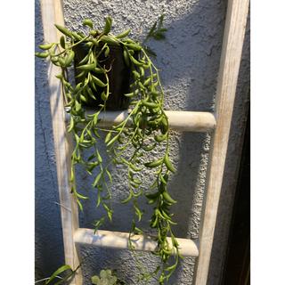 多肉植物 アーモンドネックレス 多肉 ネックレス 根付き 抜き苗 カット苗 (プランター)